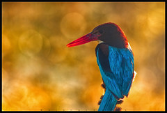 First Ray Of Light !!! (wajahat malik) Tags: travel light detail forest photography photoshoot bokeh outdoor naturallight kingfisher wilderness goldenhour selectivefocus 400mm colourfull canonguy coloursofnature nationgeographic birdsofpakistan wwfpakistan firstrayoflight fornaturelovers beautyofpakistan vjmalik