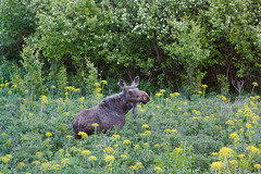 Moose (Matthew Singer) Tags: washington unitedstates wildlife moose garfield palouse steptoebutte