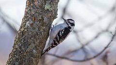 840A3053 (rpealit) Tags: bird nature river woodpecker scenery wildlife trail national waters winding downy refuge wallkill