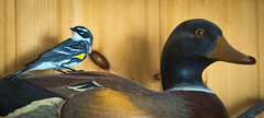 The Warbler and the Duck (Bengal Thrush) Tags: usa cute bird minnesota animal yellow duck adorable indoors aba mn avian warbler yellowrumped kabekona hubbard yellowrumpedwarbler laporte parulidae butterbutt duckdecoy setophagacoronata scoronata