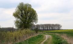 10-IMG_9904 (hemingwayfoto) Tags: energie landwirtschaft feld gelb blte raps weg blhen bruchriede
