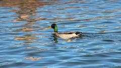 IMG_1261810 (Uday Pratti) Tags: seattle summer redmond sammamish lakesammamish idylwoodpark