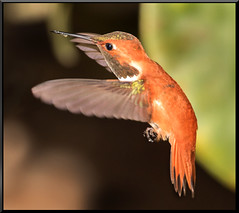 Male Rufous (Catsbow) Tags: washington hummingbird bow rufous samishflats