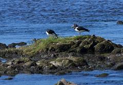 Oystercatchers (Mike Serigrapher) Tags: bird oystercatcher eurasian galloway haematopus ostralegus threave