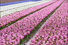 noordwijkerhout (heavenuphere) Tags: pink flowers white flower netherlands landscape carpet spring europe purple nederland hyacinth noordwijk 70200mm zuidholland noordwijkerhout bollenstreek bulbfields southholland