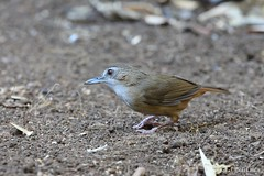 Abbott's Babbler (Vinchel) Tags: park bird nature animal cat canon is outdoor wildlife vietnam national ii l usm f28 tien 400mm 1dx
