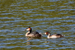 Must be a tiny fish (Roger Bunting) Tags: chick grebe worksop greatcrestedgrebe godfreyspond sandhillslake sandhilllake