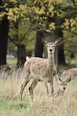 Doe (Leela Channer) Tags: england london nature grass leaves animals female leaf doe richmond deer creature ungulate reddeer richmondpark