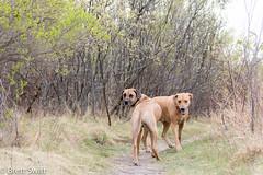 Two Ridgebacks (brettswift) Tags: dog calgary enzo