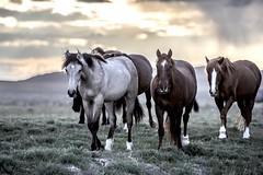 Mustangs_1754 (raptor wack) Tags: sunset nature wildlife mustang stallion wildhorse nikkor70200f28 wildutah steveplatt raptorwack raptorwackphotography nikond750