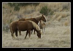 """Perfect Family"" (Lisa L Kee Photography) Tags: horse nature canon wildlife 7d northdakota wildhorse foal theodorerooseveltnationalpark canon7d lisalkee lisalkeephotography canonef100400mmf4556lisiiusm"