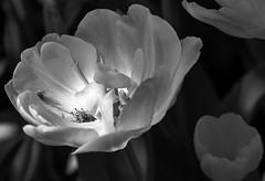 Spring_bw I (Joe Josephs: 2,650,890 views - thank you) Tags: nyc newyorkcity blackandwhite floral spring flora centralpark manhattan springflowers centralparknewyork springtime urbanlandscapes blackandwhitephotography urbanparks springcolor joejosephs joejosephsphotography