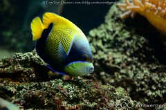 Droomkeizersvis - Pomacanthus navarchus -  Blue-girdled angelfish (MrTDiddy) Tags: blue fish angel zoo antwerp vis angelfish antwerpen zooantwerpen droom keizer griddled pomacanthus navarchus keizersvis bluegirdled keizervis droomkeizersvis