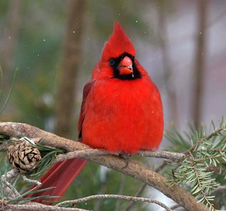 Cardinal (Northern Red (male)