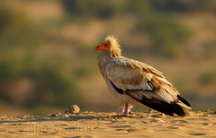 Egyptian vulture (Zahoor-Salmi) Tags: camera pakistan macro nature birds animals canon lens photo tv google flickr natural action wildlife watch bbc punjab wwf salmi walpapers chanals discovry beutty bhalwal zahoorsalmi