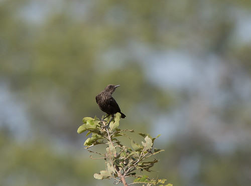 Myrepikker, Northern Anteater Chat, Wassu