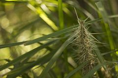 Lomandra sp. (louisa_catlover) Tags: summer plant nature floral grass canon garden botanical spiky eos flora december dof meetup native bokeh outdoor australian australia melbourne victoria depthoffield m42 f2 manual russian botanicgarden 58mm prickly helios australiannativeplant 2015 vintagelens asparagaceae helios442 60d lomandra royalbotanicgardensmelbourne melbournewalkandshootgroup