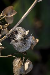 secas (seguicollar) Tags: macro planta otoo boken vegetacin transparentes secas marrones nikon5200 otoal caladitas virginiasegu