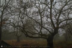Rainy day, Parnitha, Greece 2 (nikhrist) Tags: tree rain fog nick greece parnitha attiki christodoulou