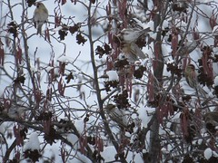 Common Redpolls 2015-12-29 ©Kevin S Lucas (kevinslucas) Tags: catkin alder commonredpoll irruption yakimacounty kevinlucas