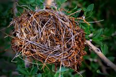Bird Nest (Matt Burtis) Tags: plant bird texture nature grass leaves animal closeup garden nikon pattern nest outdoor wildlife branches organic tangle birdnest nesting organicpattern d3100