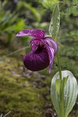 Cypripedium tibeticum (ab_orchid) Tags: china orchid native species cypripedium tibeticum