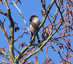Long Tailed Tit and catkins (bob the lomond) Tags: birds lochlomond aber rspb gartocharn bobthelomond