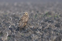 _HNS6954 Velduil : Hibou marais : Asio flammeus : Sumpfohreule : Short-eared Owl