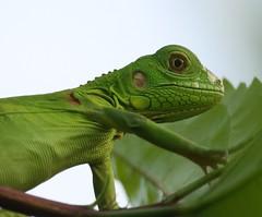 YOUNG IGUANA (h.nijssen5 IN SURINAME NOW) Tags: baby green beautiful animal groen leguaan iguana vegetarian dier hagedis