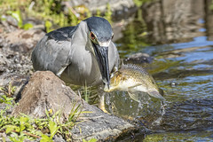 Sushi for lunch (Peter Stahl Photography) Tags: heron water sushi hawaii fishing maui blackcrownednightheron nightheron