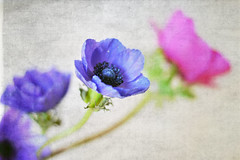 some anemones! (S.A.photos) Tags: flowers light flower art texture nature beauty colours dof purple bokeh depthoffield anemone nikkor nikond3200 texturedflower kimklassen