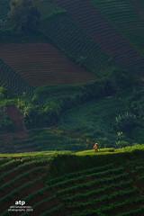 Walking (ali trisno pranoto) Tags: green walking indonesia farmer shallots tier layered majalengka argapura alitrisnopronto shallotfield shallotplantation