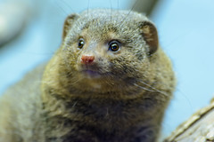 Dwarf Mongoose (PMillera4) Tags: philadelphia mongoose philadelphiazoo dwarfmongoose