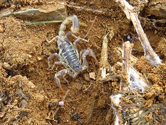 scorpion at point vicente-wow! (gskipperii) Tags: animal rock fauna insect unique wildlife scorpion exotic surprise stinger outofplace pv venom palosverdes undergrowth