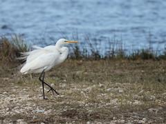 Great Egret 2-20160211 (Kenneth Cole Schneider) Tags: florida miramar westbrowardwca