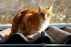 Cat on the roof (wanderer_photographer) Tags: red sun france eye animal cat soleil feline chat looking oeil meow roux regard flin observing