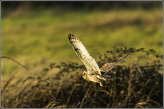The best of todays Short Eared Owl shots (Smudge 9000) Tags: winter england birds grove unitedkingdom gb 2016 groveferry stodmarshnnr