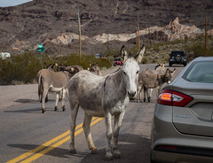 Route 66 Oatman, AZ Car-Jackass-ing (Mobilus In Mobili) Tags: winter arizona usa us interesting route66 unitedstates roadtrip goldenvalley wildwest traveler mobili travelphotography beautifuldecay travelawesome mobilus mobilusinmobili zigzaghood