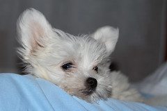 Snow (omar.flumignan) Tags: dog white snow cane canon eos ngc 7d neve maltese bianco ef24105f4lisusm allnaturesparadise