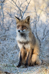 Red fox (Vulpes vulpes) vos (Ron Winkler nature) Tags: ngc npc