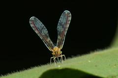 the V has landed (Hardy.backyardGEO) Tags: macro photography rainforest minolta vibrant sony v malaysia planthopper a77 macrophotography macro11 sonyalpha sonydslr derbidae minolta100mmmacro derbid minolta100mmmacro11lens