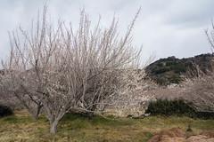 Plum Blossoms (shuigao25) Tags: japan spring odawara plumblossoms plumtrees odawaraplumfestival