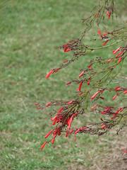 starr-070320-5728-Russelia_equisetiformis-flowers-Sun_Yat_Sen_Park_Keokea-Maui (Starr Environmental) Tags: russeliaequisetiformis