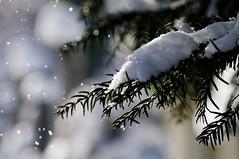(Px4u by Team Cu29) Tags: schnee winter ast frost bokeh pflanze kalt wetter frostig schneefall nadelbaum witterung nadelgehlz