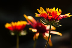 Gaillardia (mclcbooks) Tags: flowers flower macro floral closeup colorado backlit gaillardia backlighting blanketflowers denverbotanicgardens