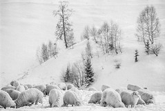 Sheep (in the Snow) (DomiKetu) Tags: winter blackandwhite bw white snow black film monochrome analog landscape mono landscapes blackwhite nikon sheep iso400 trix f100 pan sibiu selfdeveloped paltinis homemadesoup blackwhitephotos barrythorntons2bathdeveloper