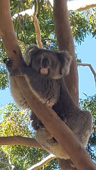 I can see you (chuck92000) Tags: blue sky brown tree green leaves grey visit koala friendly