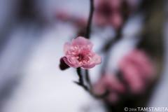 TStarita_20160204-_Q9A7159_plumblossoms (tamstarita) Tags: sf pink flower nature bay berkeley petals san francisco blossoms plum area plumblossoms