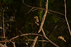 Superb Fairy-wren female (Luke6876) Tags: bird animal wildlife wren australianwildlife superbfairywren