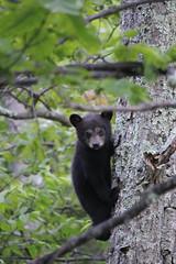 Peek A Boo (bbosica20) Tags: bear mammal cub virginia shen bearcub shenandoahnp blackbearcub shenandoahwildlife